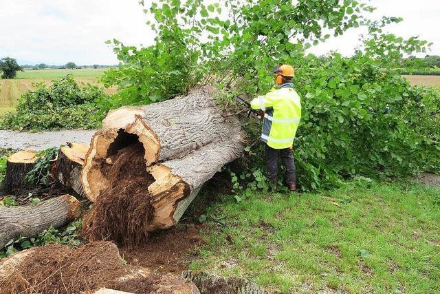 In Breisach stehen auf öffentlichen Flächen fast 4000 Bäume