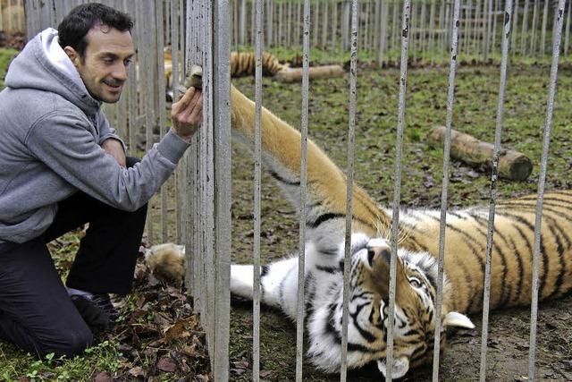 Tigern und Löwen ganz nah