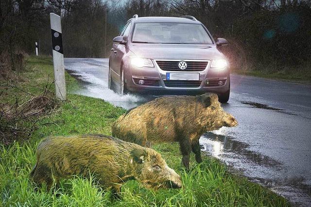 Was tun, wenn man Wildschweine auf der Straße trifft?