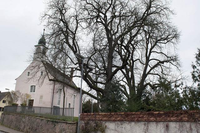 Historische Mauer gibt Bäumen keinen Halt mehr