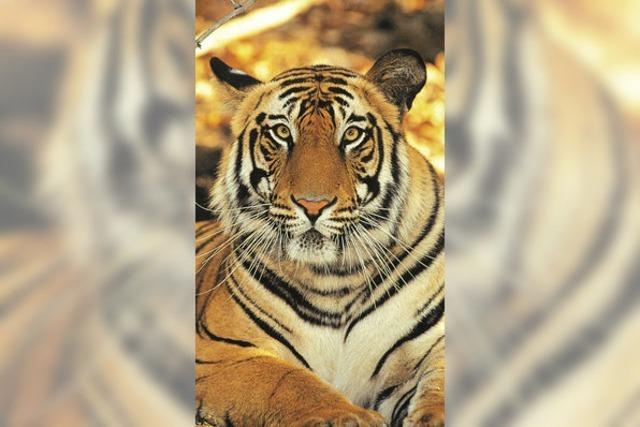 Vor dem Tiger sind alle gleich