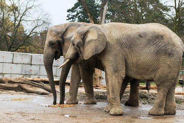 Elefanten testen ihr neues Zuhause im Basler Zoo