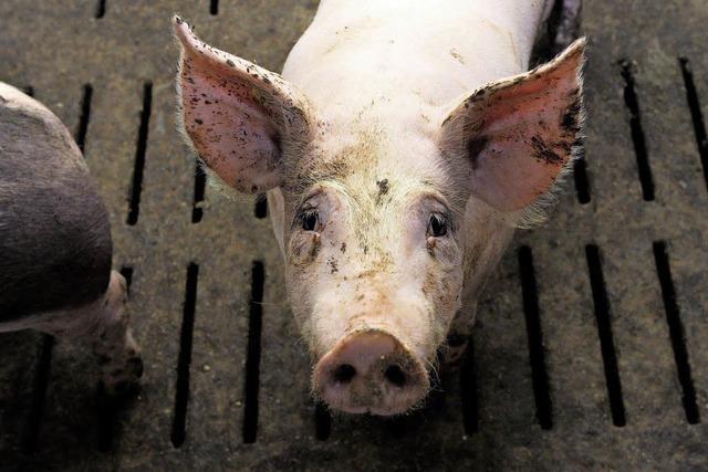 Tierhaltungsverbot für größten Schweinezüchter Deutschlands