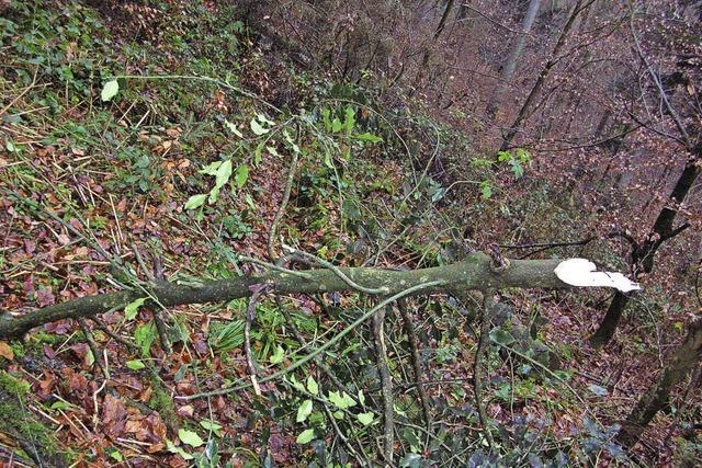 Stechpalme am Mörtelbuck umgesägt - Waldbesitzer setzt Belohnung aus