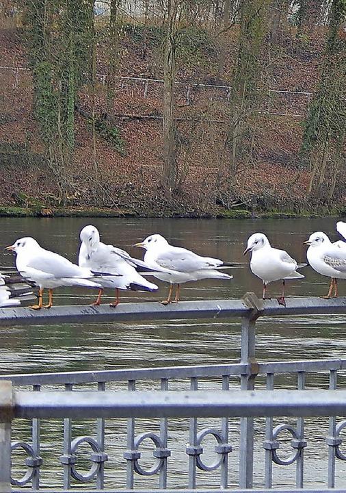 Ihnen ist egal, ob ein Steg gebaut wir...hmöwen können über den Rhein fliegen.   | Foto: Claudia Gempp
