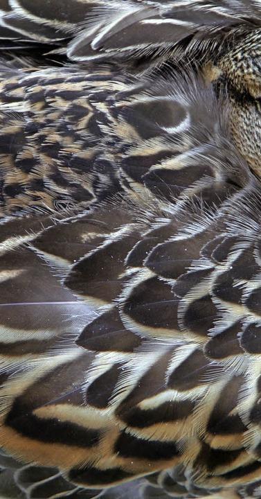 Auch Enten sind Teil der Massentierhaltung.    | Foto: DPA