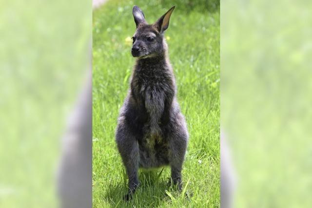 Plötzlich Känguru-Mama