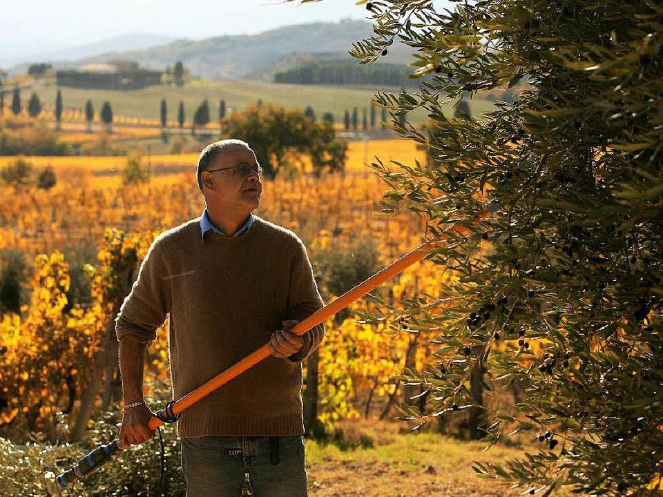 Olivenernte in Italien.  | Foto: FILIPPO MONTEFORTE