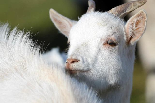 Unbekannter schändet Ziege in Hugsweier zu Tode