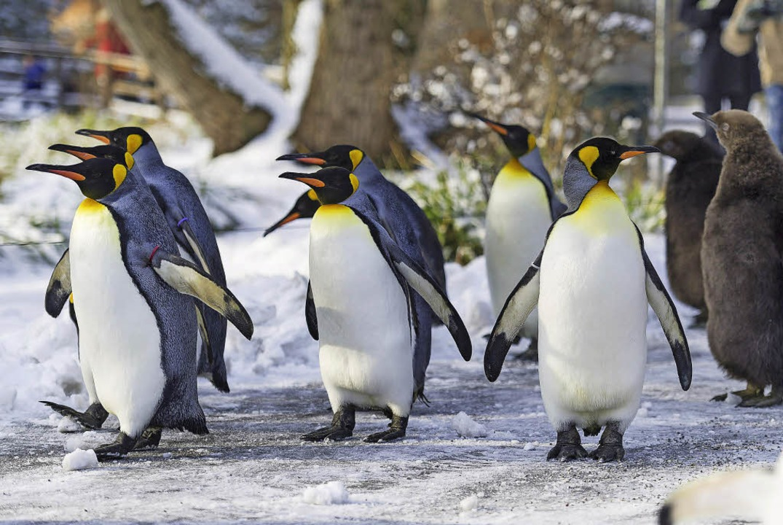 Pinguine gehen im Basler Zoo spazieren  | Foto: Zoo Basel (T.Weber)