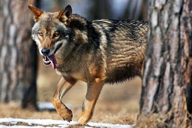 Die Rückkehr der Wölfe ist Thema im Elztal