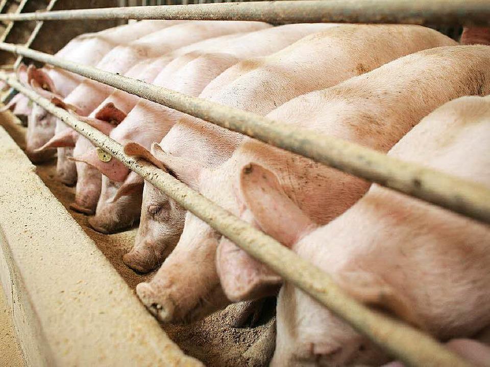 Nicht nach jedermanns Geschmack: eine Schweinemastanlage  | Foto: dpa