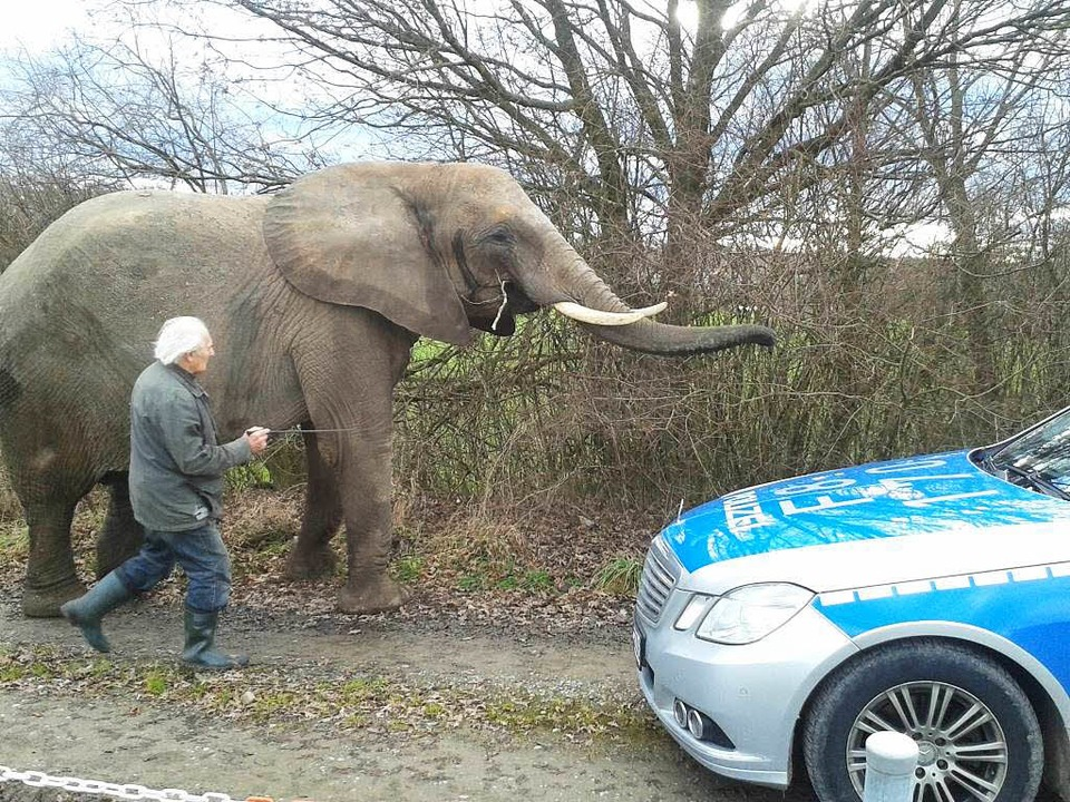 Ein Elefant braucht Auslauf, deshalb d...Dickhäuter am Samstag spazieren gehen.  | Foto: Polizei