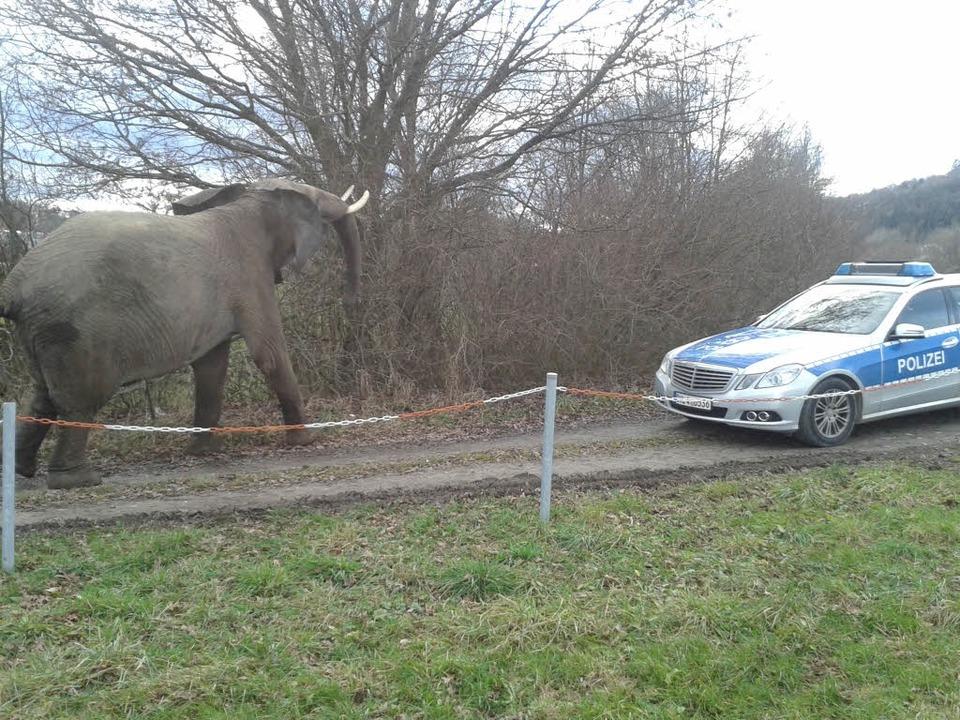 Der Elefant begutachtete nicht nur den...rn auch die Polizeibeamten sorgfältig.
