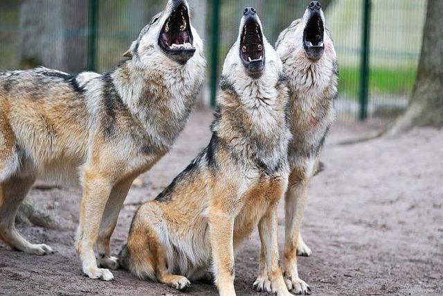 Wildtierforscher: Wölfe in der Ortenau sind eine Frage der Zeit