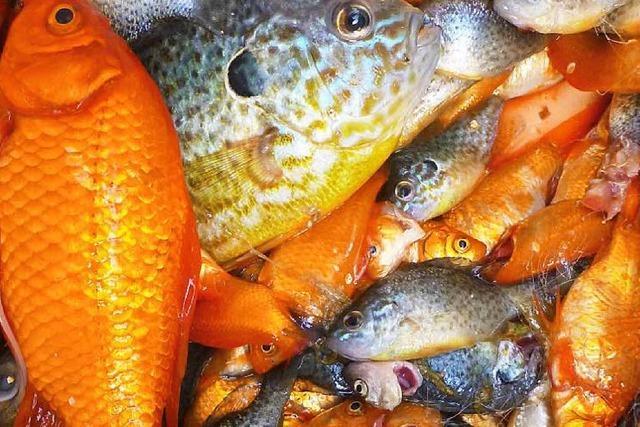 Fische im Teich sollen weg: Ihnen droht der Elektrokescher