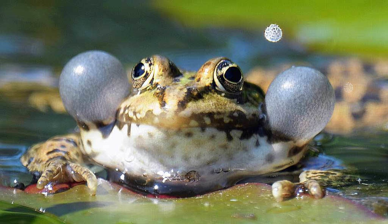 Konzertmeister im Feuchtbiotop: quaken...frosch mit aufgeblasenen Schallblasen     Foto: dpa/colourbox