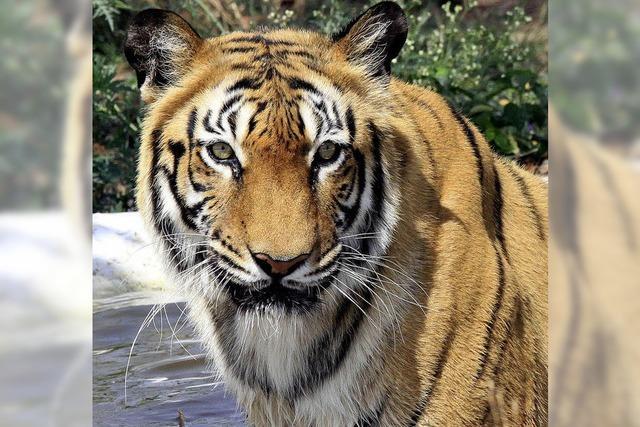 Wieder mehr Tiger in Indien