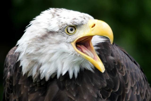 Greifvogel-Schau in Staufen