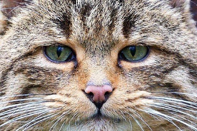 Wildkatzen sind in deutschen Wäldern wieder heimisch