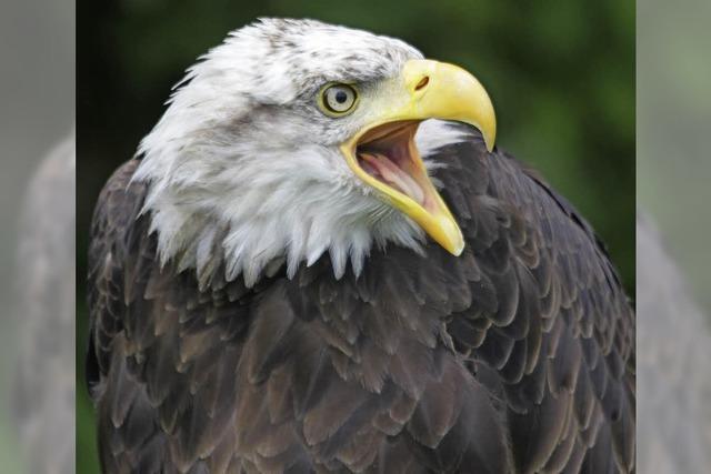 Greifvogelschau in Staufen
