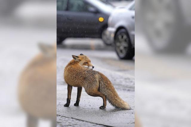 Ein Fuchs geht um – oder zwei?