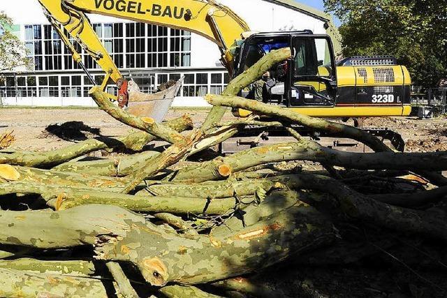 Stadt sperrt Platanenallee wegen maroder Platanen