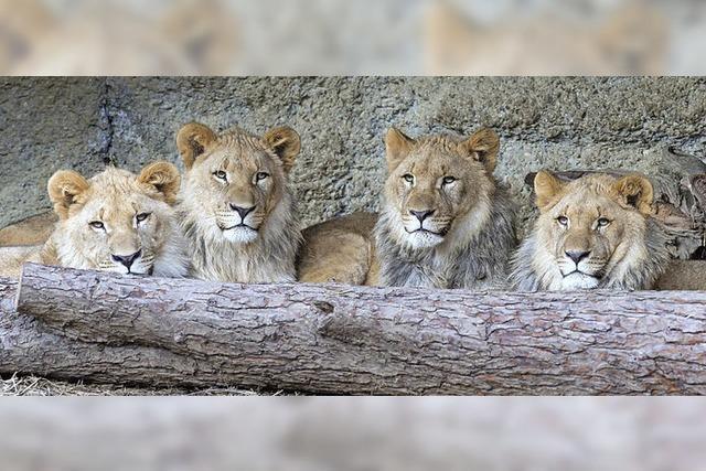Neue Heimat für Löwen-Quartett