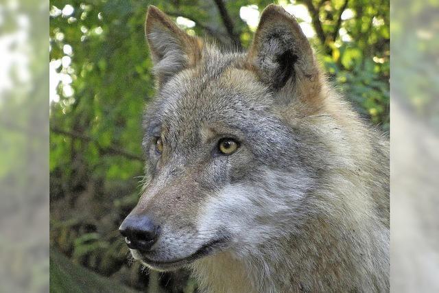 Wenn der Wolf wieder kommt