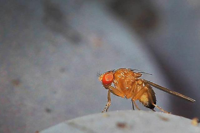Die Kirschessigfliege bereitet nach wie vor Kopfzerbrechen