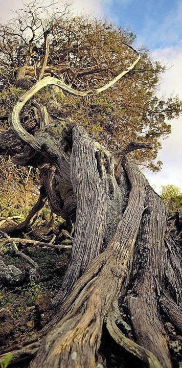 Laune der Natur: ein vom Wind gekrümmter Wacholderbaum  | Foto: David Olivera