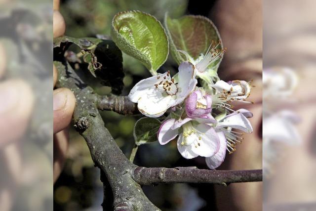 Stadt fördert weiter privaten Obstbaumanbau