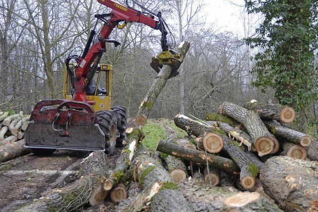 Holzernte im Rheinwald
