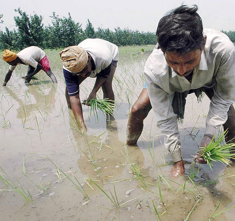 Werden hier Industriesorten angebaut? Reisbauern in Indien   | Foto: afp