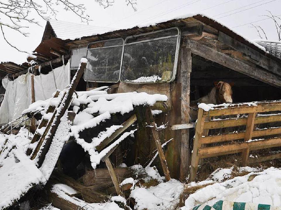 Ponyhengst Willy in seinem Bretterverschlag     Foto: Tierschutzverein