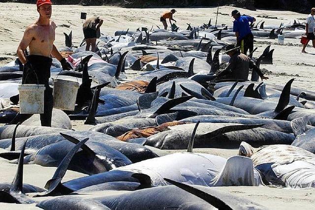 140 Grindwale sterben an der Küste Neuseelands