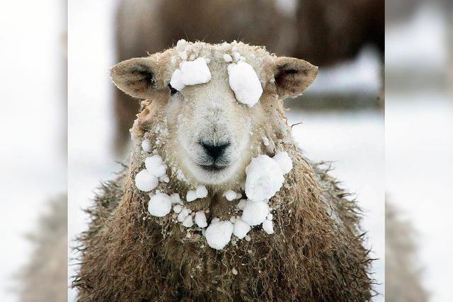 Das Jahr des Schafes beginnt – doch niemand will ein Schaf sein