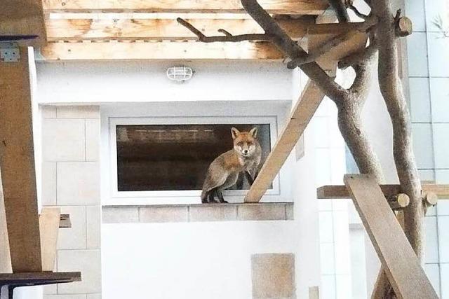 Neuenburger Fuchs wurde nach mehreren Wochen gefangen