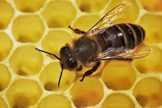 Unbekannter klaut 8 Bienenvölker in Obersimonswald
