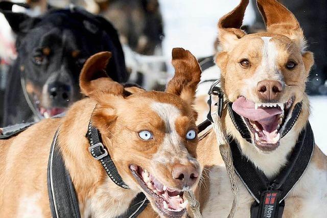Frühlingshafter Auftakt der Schlittenhunde-WM in Bernau