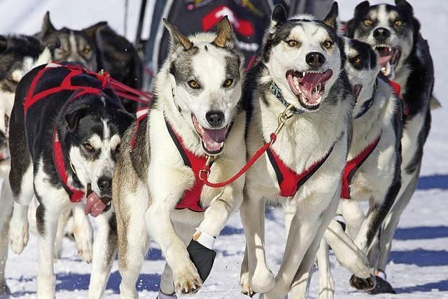 Schnelle Hunde rennen in Todtmoos
