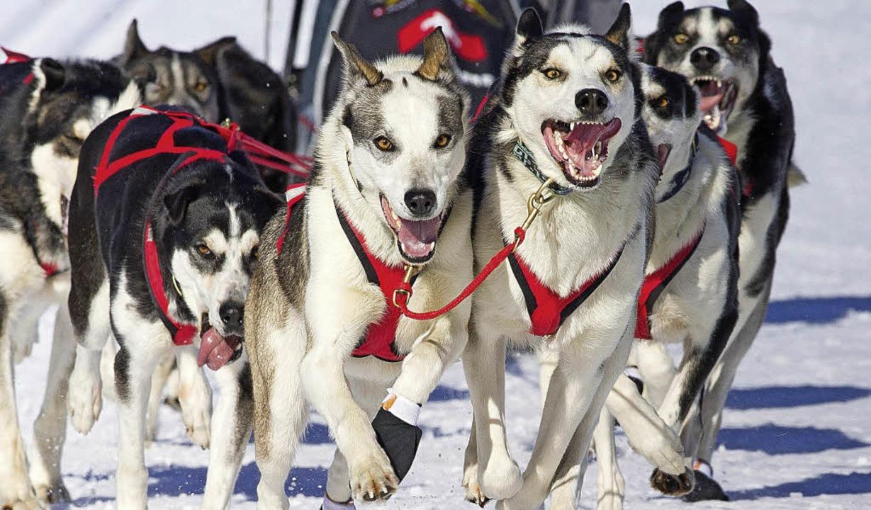 Die wollen nur rennen: Ein Zwölf-Kilom...nschen vergleichbar, sagen Fachmänner.  | Foto: wolfgang scheu