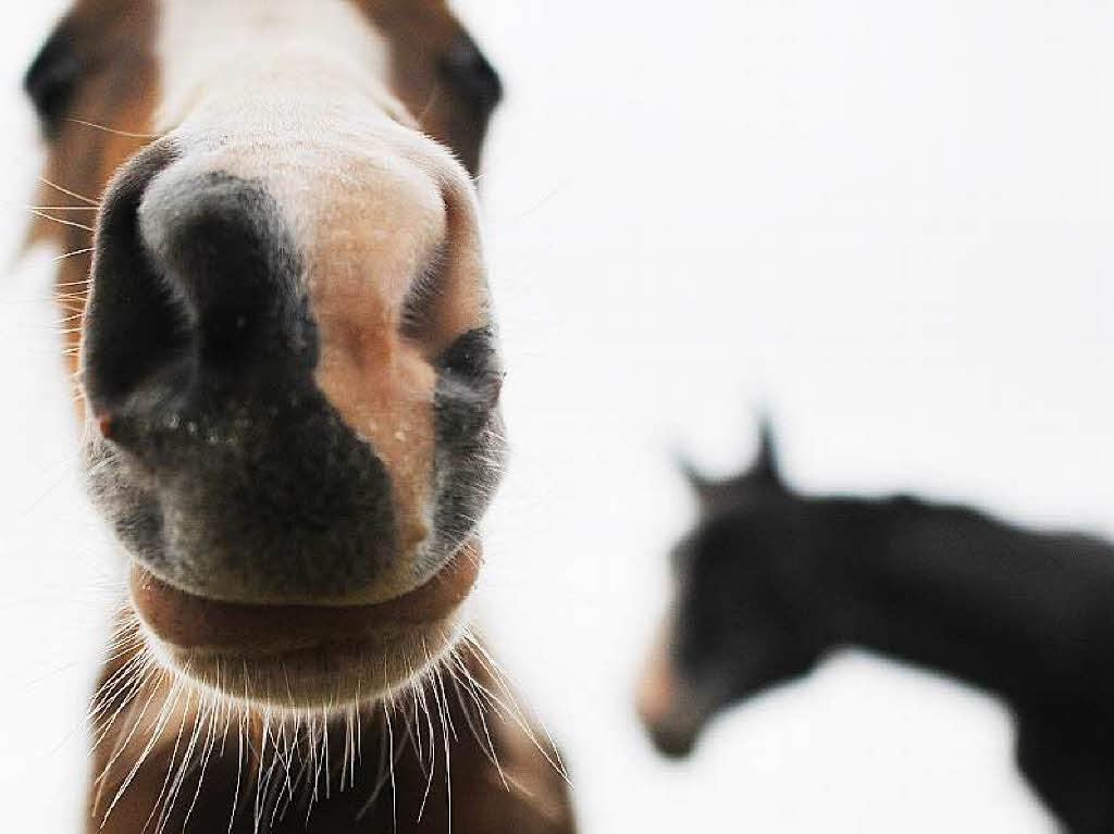 Pferd Herpes