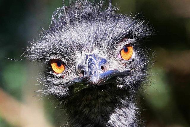 Ungewöhnlicher Nachtschwärmer: Emu auf Streifzug durch Lörrach