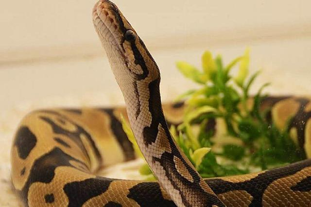 Reptilienbörse in Offenburg: Vogelspinne und Python to go