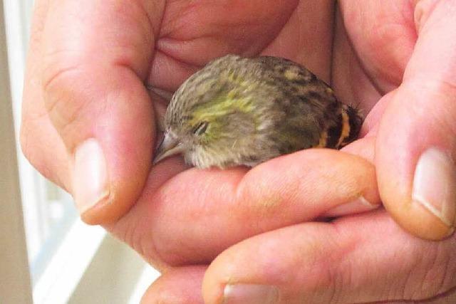 Nach Kollision mit Fenster: Vögel überleben – in einem Katzenkorb
