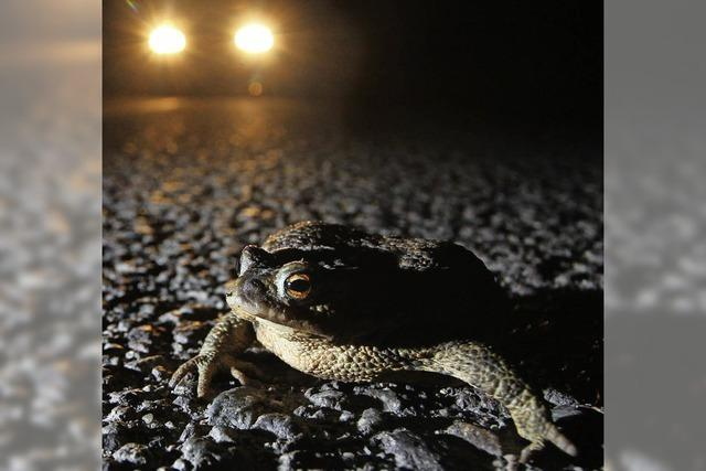 Amphibien auf gefährlicher Wanderschaft