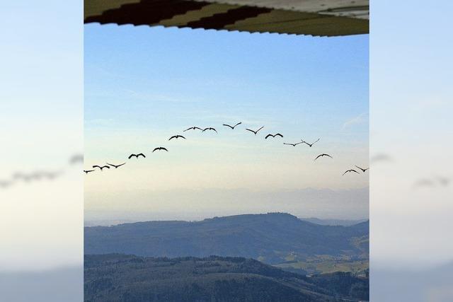 Zugvögel fliegen gen Norden