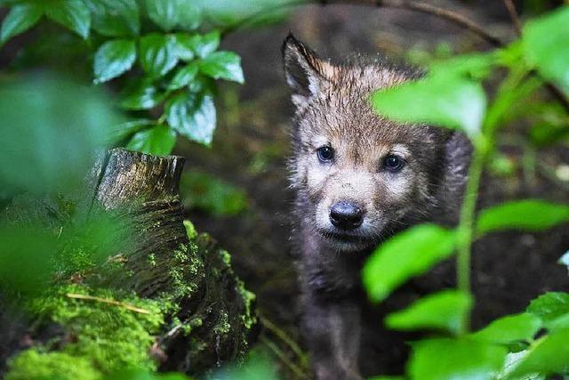 Wölfe in Wohngebieten lösen hitzige Debatten aus