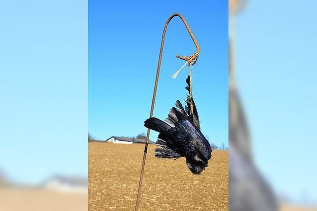 Abschreckung: Tote Krähen dienen als Vogelscheuchen